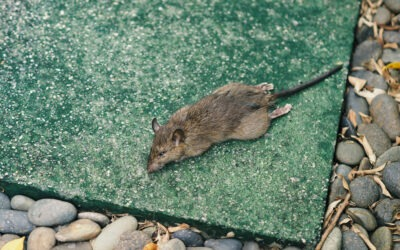 Lutter contre les rats dans les installations industrielles